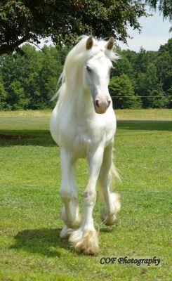 CHESTNUT OAK FARM:: DRUM HORSE FOR SALE GYPSY HORSE DRUM HORSE DRUM HORSES FOR SALE BEAVER SPRINGS PENNSYLVANIA