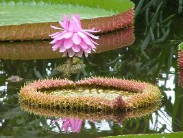 Victoria amazonica - Vitória-regia - A vitória-régia é uma planta aquática gigante e rizomatosa, nativa da Amazônia. Suas folhas são circulares, enormes, podendo alcançar 2,5 metros de diâmetro, e flutuantes, com bordos elevados em até 10 cm, que revelam a página inferior espinhenta e avermelhada. Planta exclusivamente aquática, deve ser cultivada sob sol pleno, em lagos ou tanques com mais de 90 cm de profundidade, com água em temperatura de 29 a 32ºC. Não tolera temperaturas abaixo de…