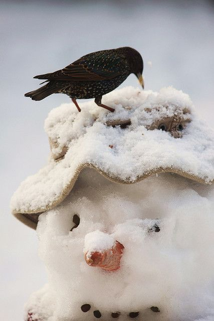 snowman and starling..