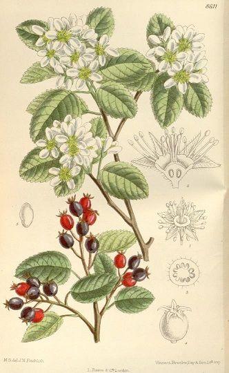 The Wild Garden: Hansen's Northwest Native Plant Database: juneberry