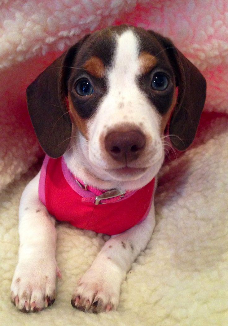 Piebald dachshund puppy 10 weeks old