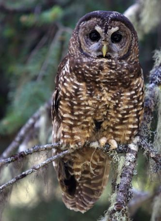 Spotted Owl by Canadian Bird #Photographer Jack Lien shared on our #SocialTravel website. Join Canada today!