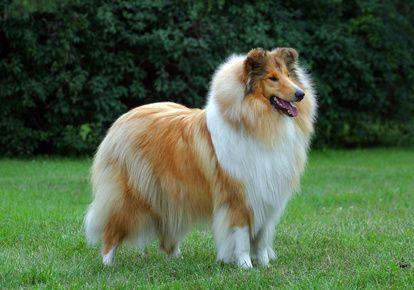 Rough Collie....sable and white in a dog show stance
