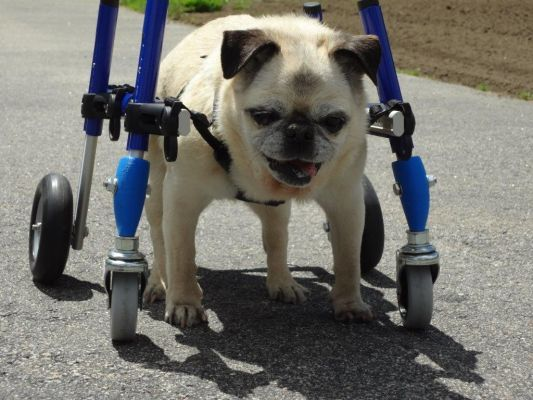 Walkin Wheels 4 Wheel Wheelchair Helps With Front Leg Mobility