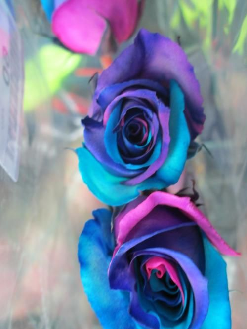 Roses Dyed Purple Blue And Fuchsia