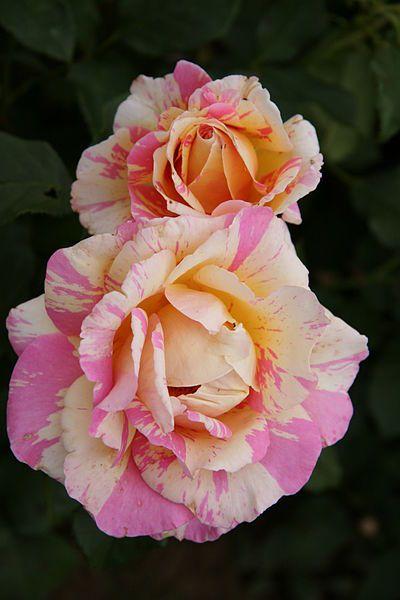 Hybrid tea rose 'Claude Monet'