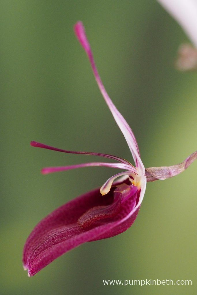 Restrepia sanguinea pictured flowering on the 17th September 2017.
