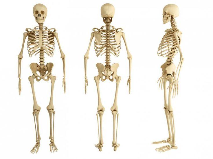 15 datos interesantes que debes conocer sobre el esqueleto humano