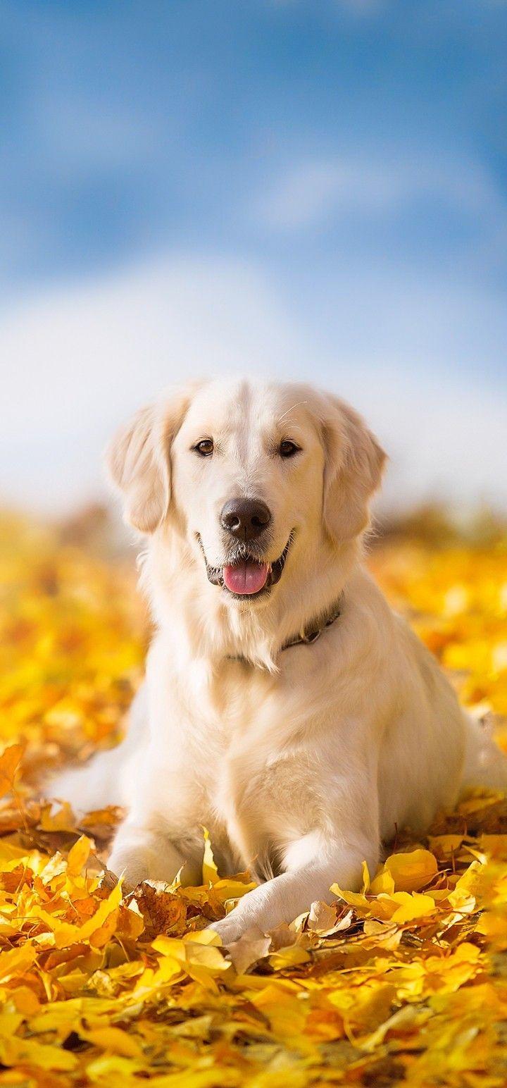 New Dog Wallpaper Vivo Mobiles Fhd Resolutions Golden Retriever Dogs Retriever