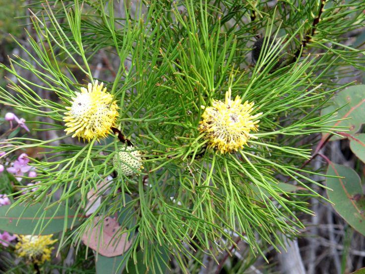 Isopogon plant.