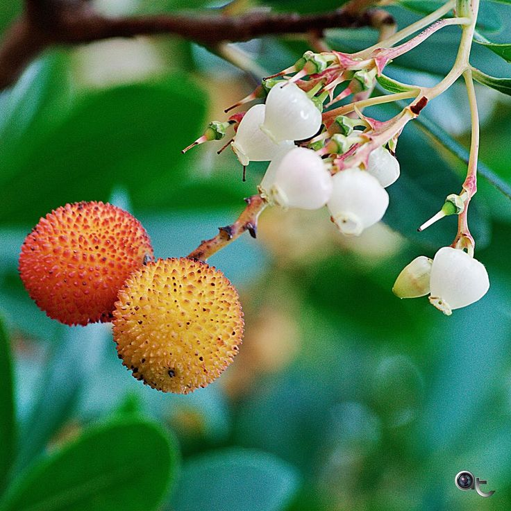 #corbezzoli - #fruits and #flowers #colors_of_sardinia #nikontop #nikonphoto_ #andreaturno #red #yellow #white #green