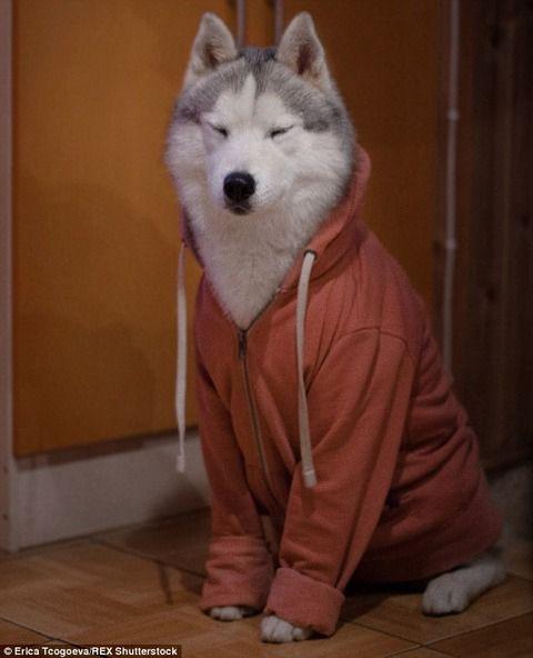 【画像】シベリアン・ハスキーに服を着せてみた - この指とまれ!!