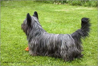 Skye Terrier: Amazing Animals Favourite, Animal Kingdom, Skye Terriers, Popular Pins, Unique Pins, Animals Favourite Dogs, Terrier Pets