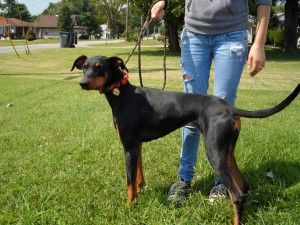 The Elka Almanac: Athena and Boss, in Southwest Ohio Doberman Rescue  Need forever homes.