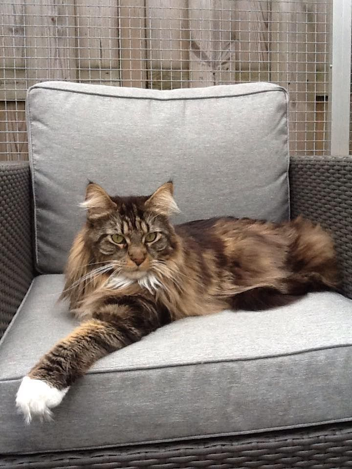 Maine Coon, black tabby blotched & white (n 09 22). De Tobiano coon Mits II. Photo by #Henderika