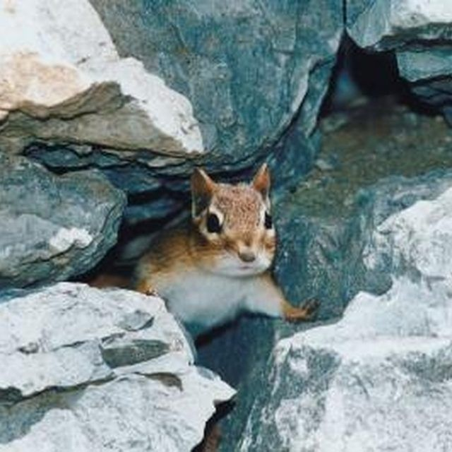 The Most Effective Chipmunk Garden Repellent Gardens Chipmunks And The O 39 Jays