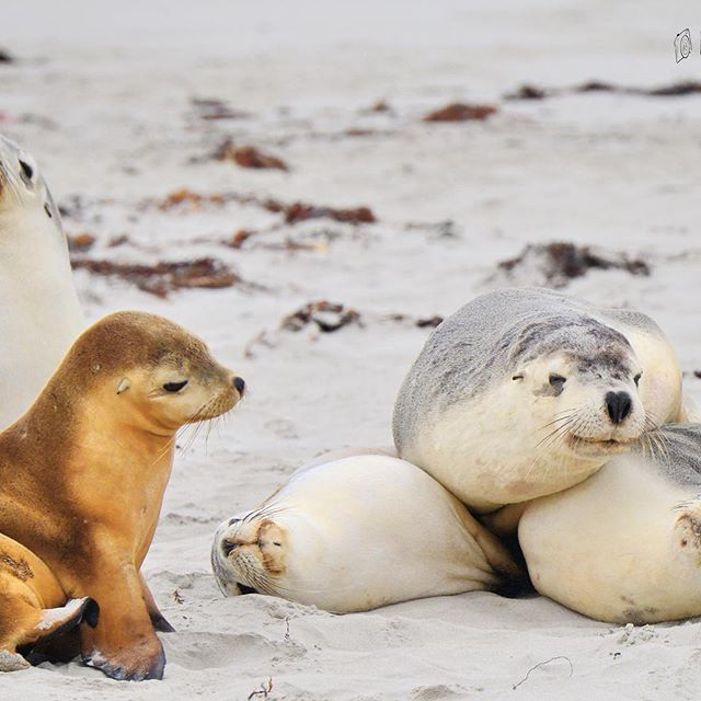 Forget the pancake stack – a sea lion stack is so much cuter! Walk among a colony of Australia sea lions with a tour guide and experience why Kangaroo Island is regarded as a zoo without fences. You might even snap a pic like this one by Nikki Redman at @kangarooislandodysseys. Aside from sea lions, which are always as photogenic as this group, the island is also home to New Zealand fur seals, tammar wallabies, echidnas, lots and lots and lots of koalas, and of course, kangaroos…