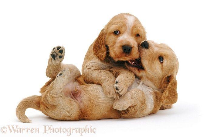 Golden Cocker Spaniel puppies                                                                                                                                                                                 More