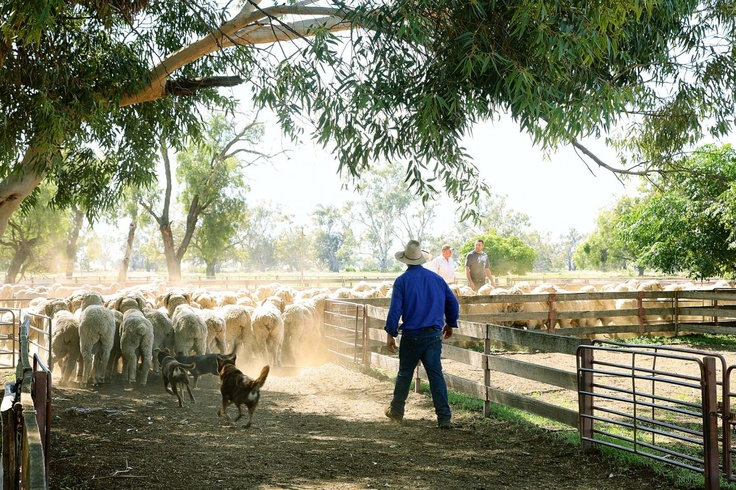 From our new issue: Welcome to sheep heaven ... A century-and-a-half of breeding underpins the Boonoke Merino Stud in the New South Wales Riverina.