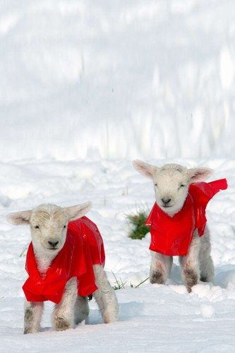 Yarn source. Newborn lambs wear red coats to keep warm in the snow.