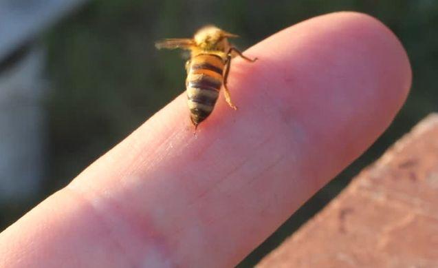 علاج لدغة ولسعة النحل Bee Sting Bee Insects