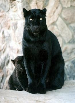 What a beautiful black panther with her cub.