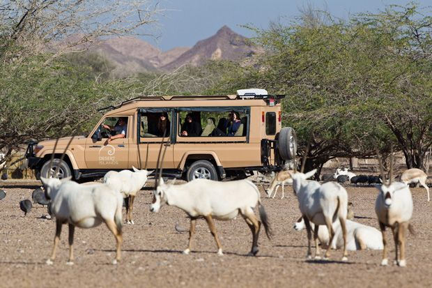 Wild Arabian Oryx on Sir Bani Yas Island #AbuDhabi #uae