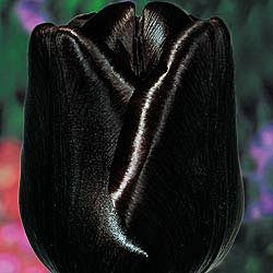 """Queen of Night Tulip - Amazing flowers on 28-30"""" stems provide sensational contrast in borders and arrangements. Longtime favourites in Holland, these spectacular tulips bear large, lush blooms that will enhance any garden or indoor display.    Zones: 3-8  Bulb Size: 12+ cm  Height: 28-30""""  Bloom Time: Mid to Late Spring"""