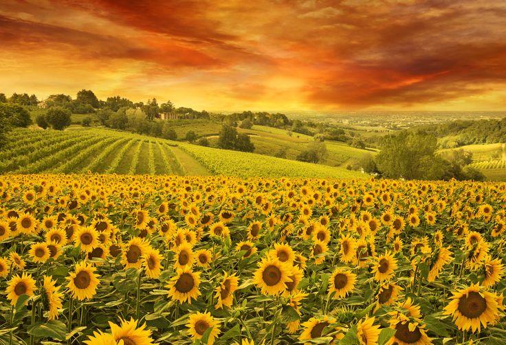 Campo de girassóis em paisagem da Toscana, Itália