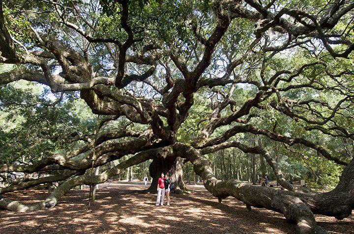 Historic Angel Oak on Johns Island, just up Bohicket Road from stunning #Kiawah Island   Photo © Patrick O'Brien, Kiawah Island Real Estate #LuxuryTravel