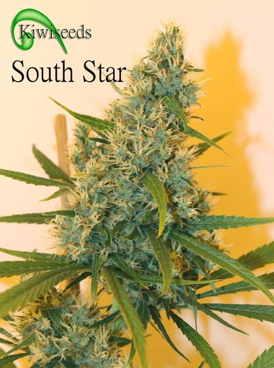 South Star Regular