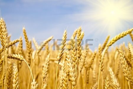 champ de bl jaune dans les rayons de soleil Banque d'images