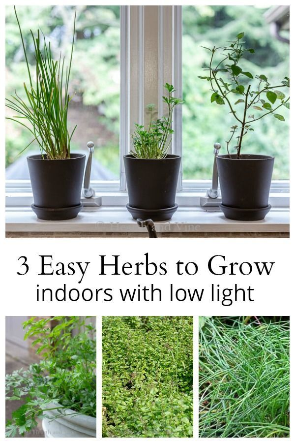 The Easiest Herbs To Grow Indoors With Low Light Growing Herbs