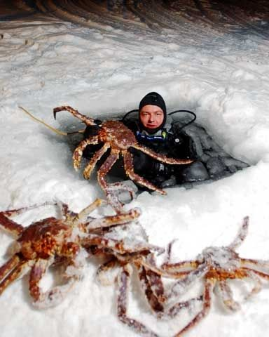 King crab fishing in minus 20 degrees in Grense Jakobselv in Finnmark county, Norway. Come face to face with the red king crab in the Barents Sea outside the coast of Finnmark. Afterwards you are offered a taste of the succulent meat. http://www.71-nord.no/  http://www.barentssafari.no/index.php?lang=en