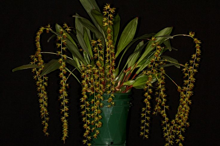https://flic.kr/p/XKzRm4 | Dendrochilum schaiblei 2017-09-11 03 | Recently described species from Sulawesi