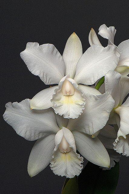 Floral: The taste of Petrol and Porcelain | Interior design, Vintage Sets and Unique Pieces www.petrolandporcelain.com Orchid 'Summer Star'