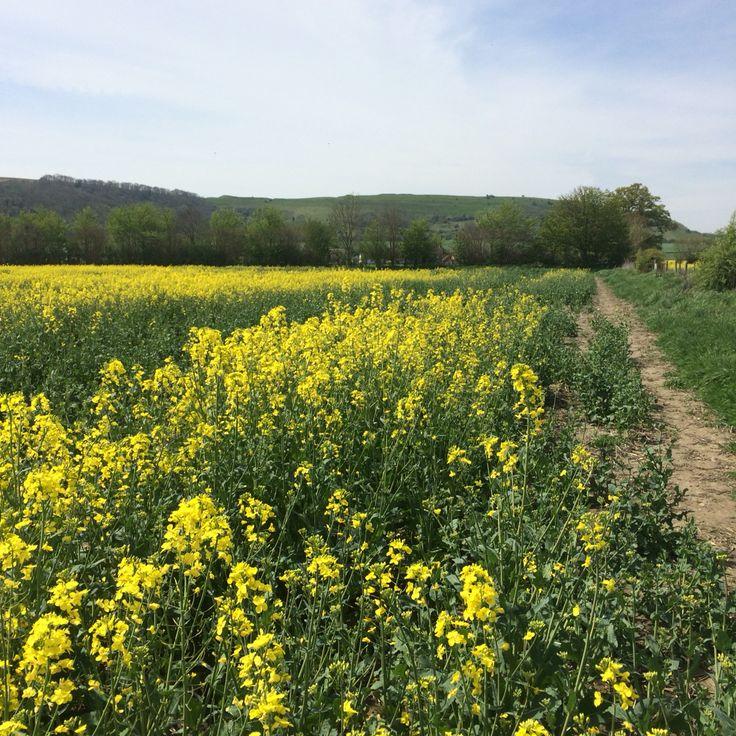 Spring at Shroton, looking to Hambledon Hill.