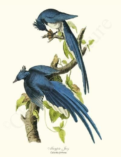Magpie Jay Bird Print 8x10 Print