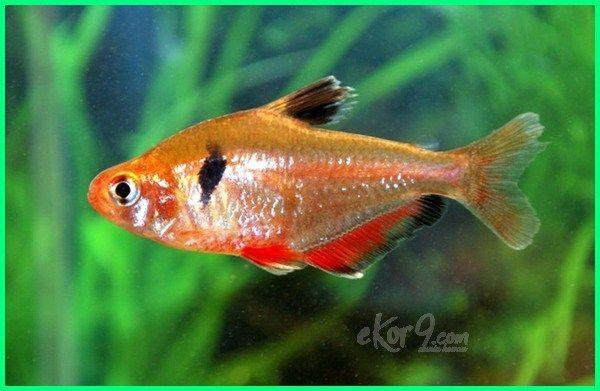 Ikan Hias Serpae Tetra Budidaya Ikan Hias Tetra Ikan Hias Air Tawar Jenis Tetra Budidaya Ikan Hias Neon Tetra Pdf Cara Ternak Ikan Hias Ikan Binatang Hewan