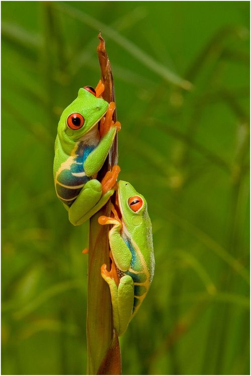 Red Eye Tree Frogs Photo by Pierre Giard