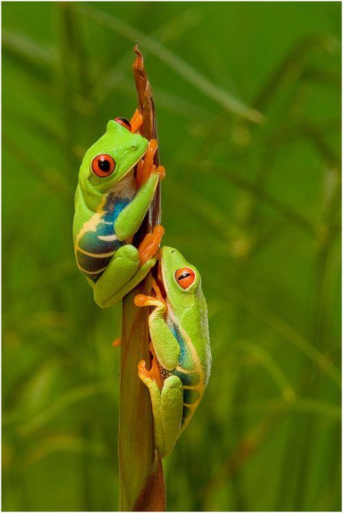 earthandanimals:  Red Eye Tree Frogs Photo by Pierre Giard