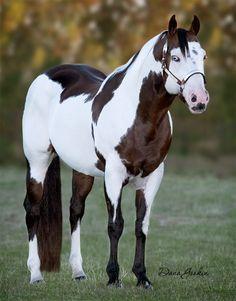 Beautiful Bay stallion Paint horse