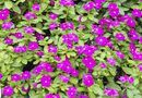 How to Take Care of Vinca Flowers