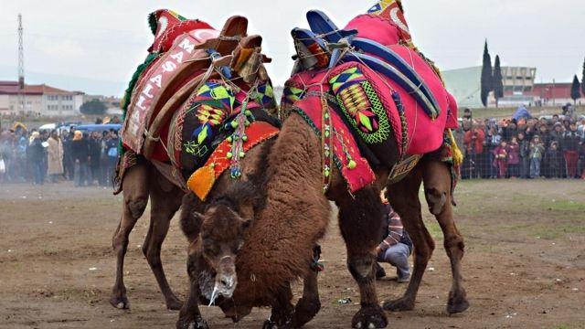 Ezine'nin Gökçebayır köyündeki deve güreşleri coşkulu geçti