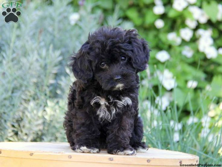 Pearly, Cavapoo puppy for sale from New Holland, PA