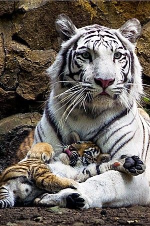 Cuddly tiger cub goofs around with mom