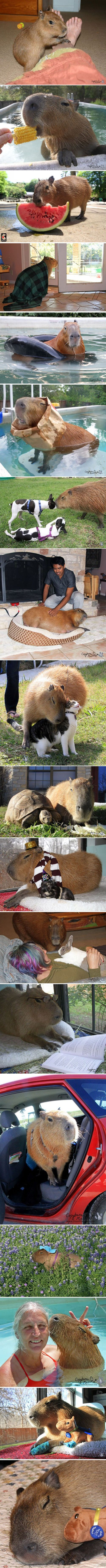 There are several other photos of another Capybara on this board.. her name is Cheesecake, and she resides at the Rocky Ridge Refuge (you can check them out on Pinterest)  She became well known when photos and a video of her hanging out with some puppies went viral.  She's auntie Cheesecake.  She watches the different litters of pups while their mom takes a break.  She's also friends with all the other animals... including Crouton the tortoise and Bazinga the dwarf horse. :-)