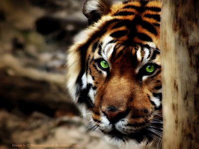 Scary+Tiger+Eyes  my green eyed tiger!!!!! oh, yeah!!!!