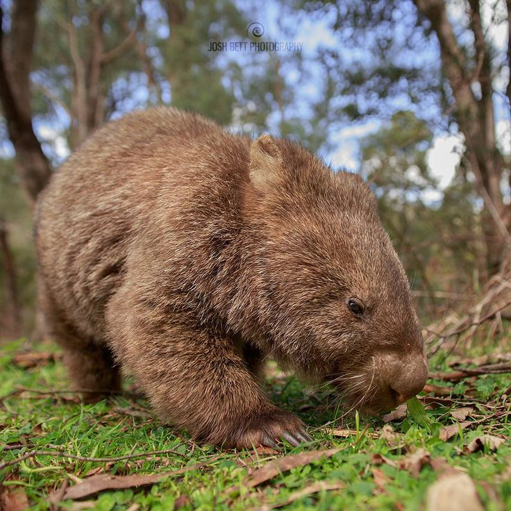 """Wally the Friendly Wombat""  Head over to my Facebook page fb.com/joshbettphotography to see a behind the scenes video of how I captured this photo.  This is Wally the Friendly Wombat, I met Wally on a bush walk yesterday and he spent over an hour modelling for me, he is the friendliest Wombat ever!  This photo was taken on a section of The Hume & Hovell Walking Track, just South-East of Tumbarumba, NSW.  Wally is a Common wombat, which are found in cooler parts of southern and eastern…"