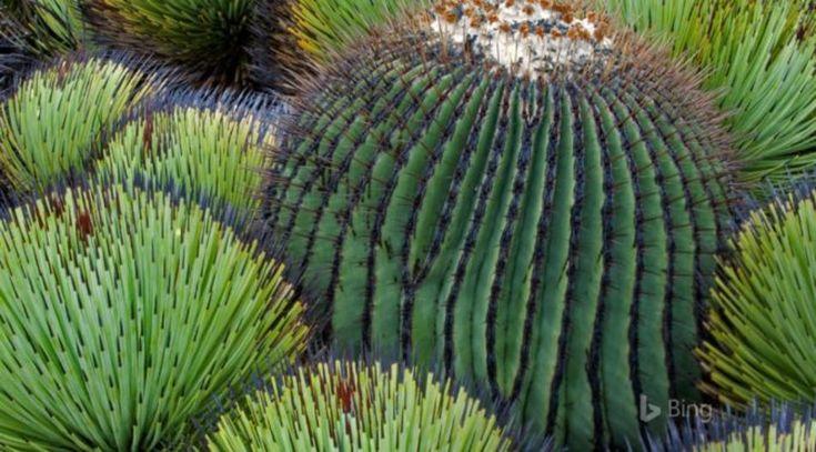 Photos du Jour Echinocactus platyacanthus, désert de Chihuahua, Mexique Attention où vous mettez les pieds dans le désert du Chihuahua, vous pouvez facilement marcher sur un cactus où sur l'une de ses plantes effilées baptisées yucca. En parlant de cactus, l'echinocactus platyacanthus que vous apercevez sur cette photo est l'une des six espèces qui compose …